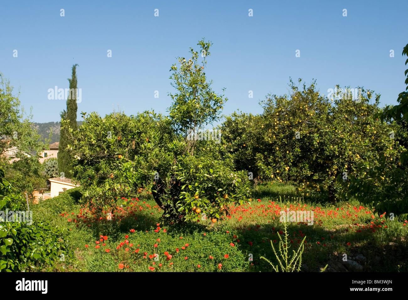 Einen kleinen Obstgarten in einem Zustand der Verwahrlosung, in Soller (Mallorca - Spanien). Petit Verger Négligé Stockbild