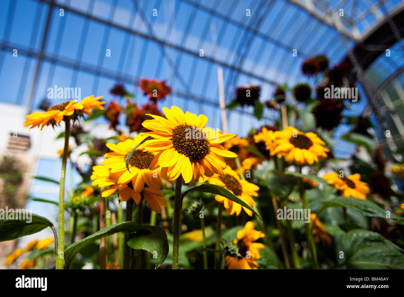 Sonnenblumen im Wintergarten Gewächshaus. Die Domain, Auckland, Nordinsel, Neuseeland Stockbild
