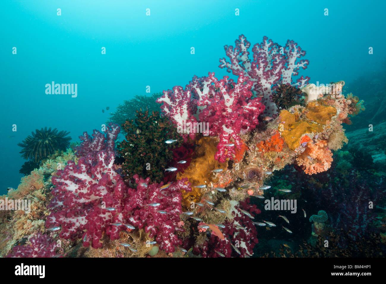 Rote Weichkorallen am Korallenriff, Dendronephthya SP., Raja Ampat, West Papua, Indonesien Stockbild