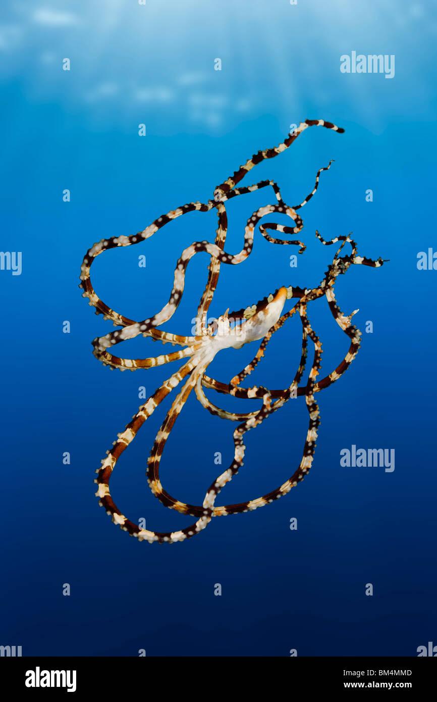 Wonderpus Tintenfisch, Wunderpus Photogenicus, Lembeh Strait, Nord-Sulawesi, Indonesien Stockfoto