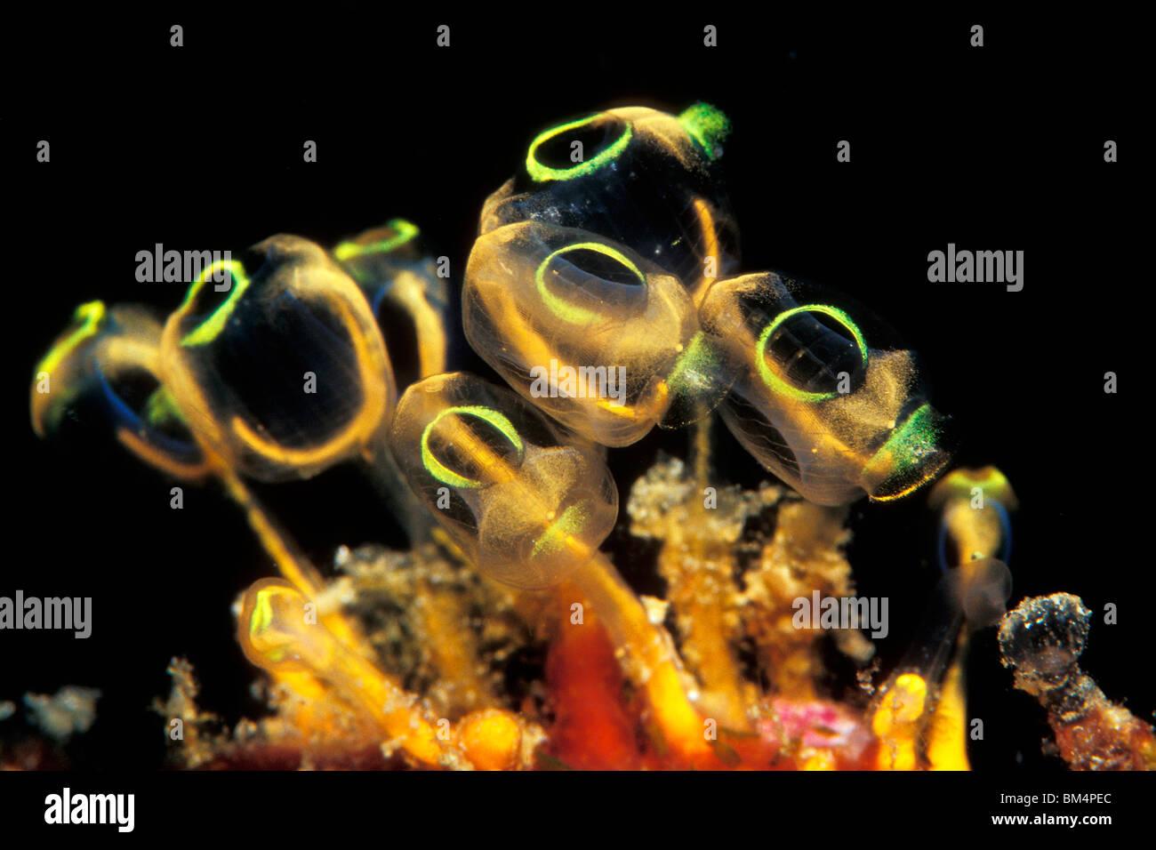 Kolonie von Manteltieren, Clavelina Robusta, South Pacific, Solomones Inseln Stockfoto