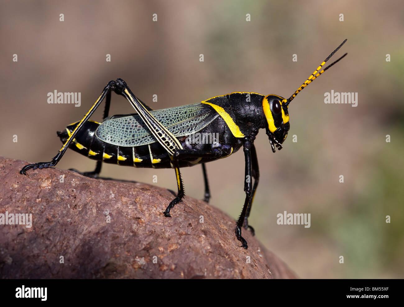 Riesen Lümmel Grasshopper Romalea Guttata Big Bend Ranch State Park Texas USA Stockbild