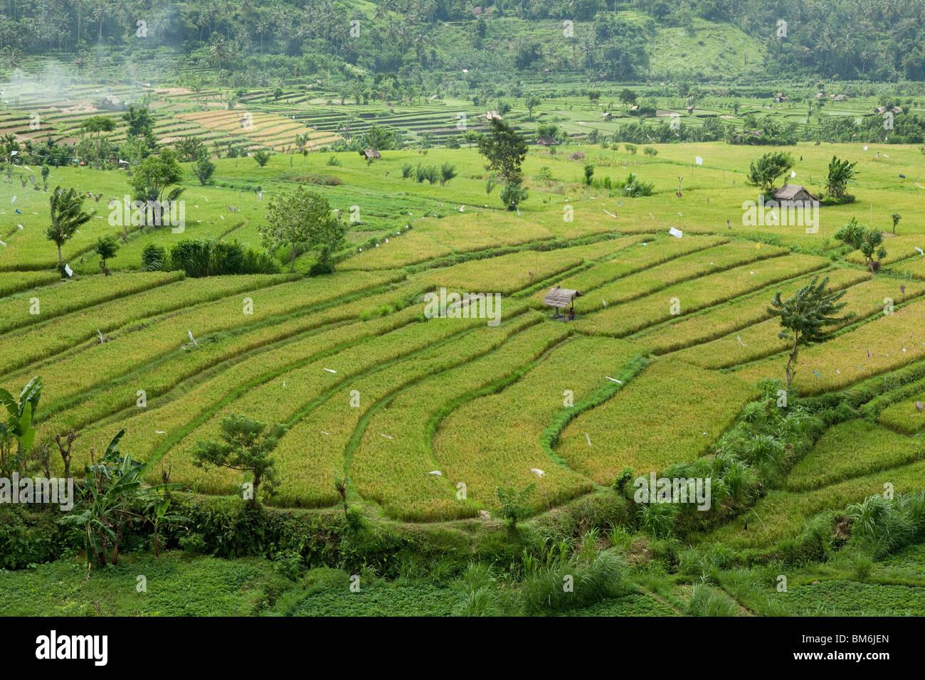 Reisfeld am Tirta Gangga Bali Indonesien Stockbild
