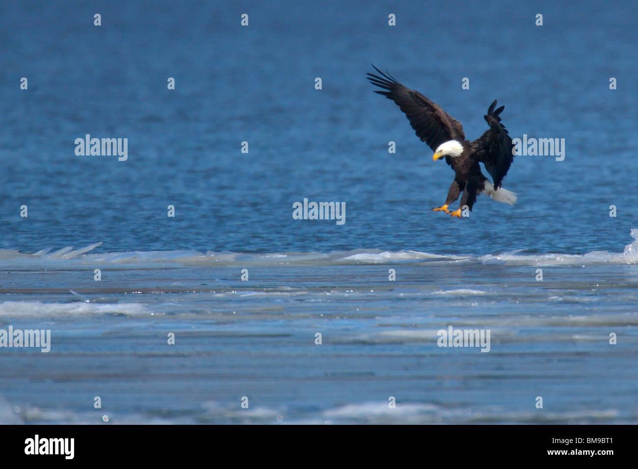 Erwachsene Männliche Weißkopf Seeadler Landung Auf Einer Eisscholle