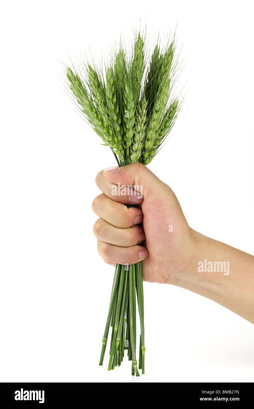 Frischen Weizen in einer Hand Konzept. Stockbild