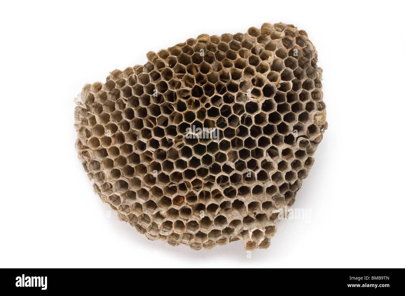 wasps at nest stockfotos wasps at nest bilder alamy. Black Bedroom Furniture Sets. Home Design Ideas
