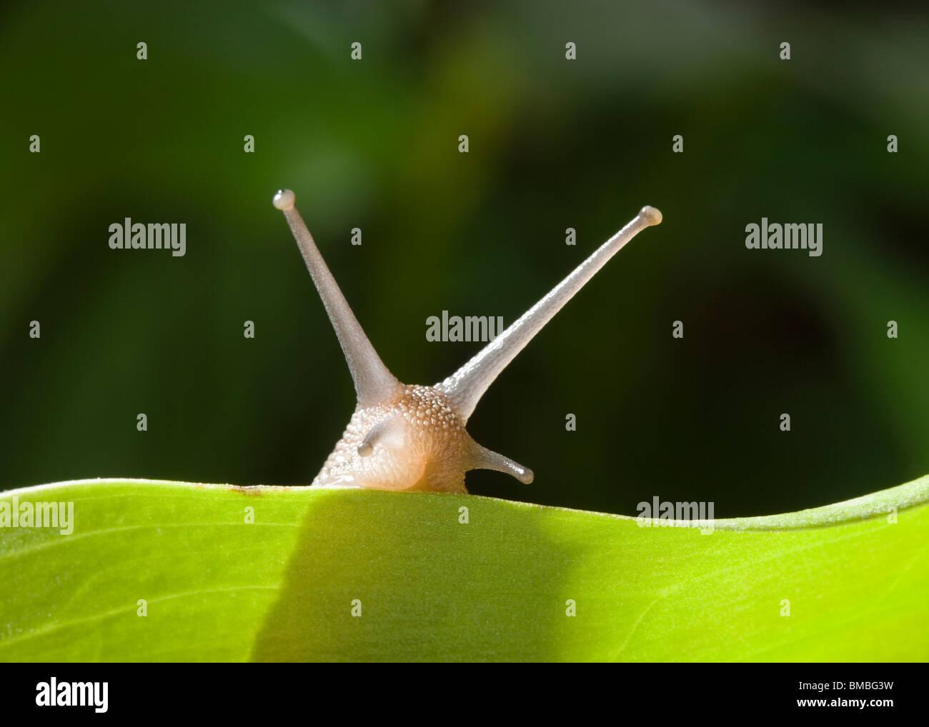 Garten Schnecke Helix Aspersa. Stockbild