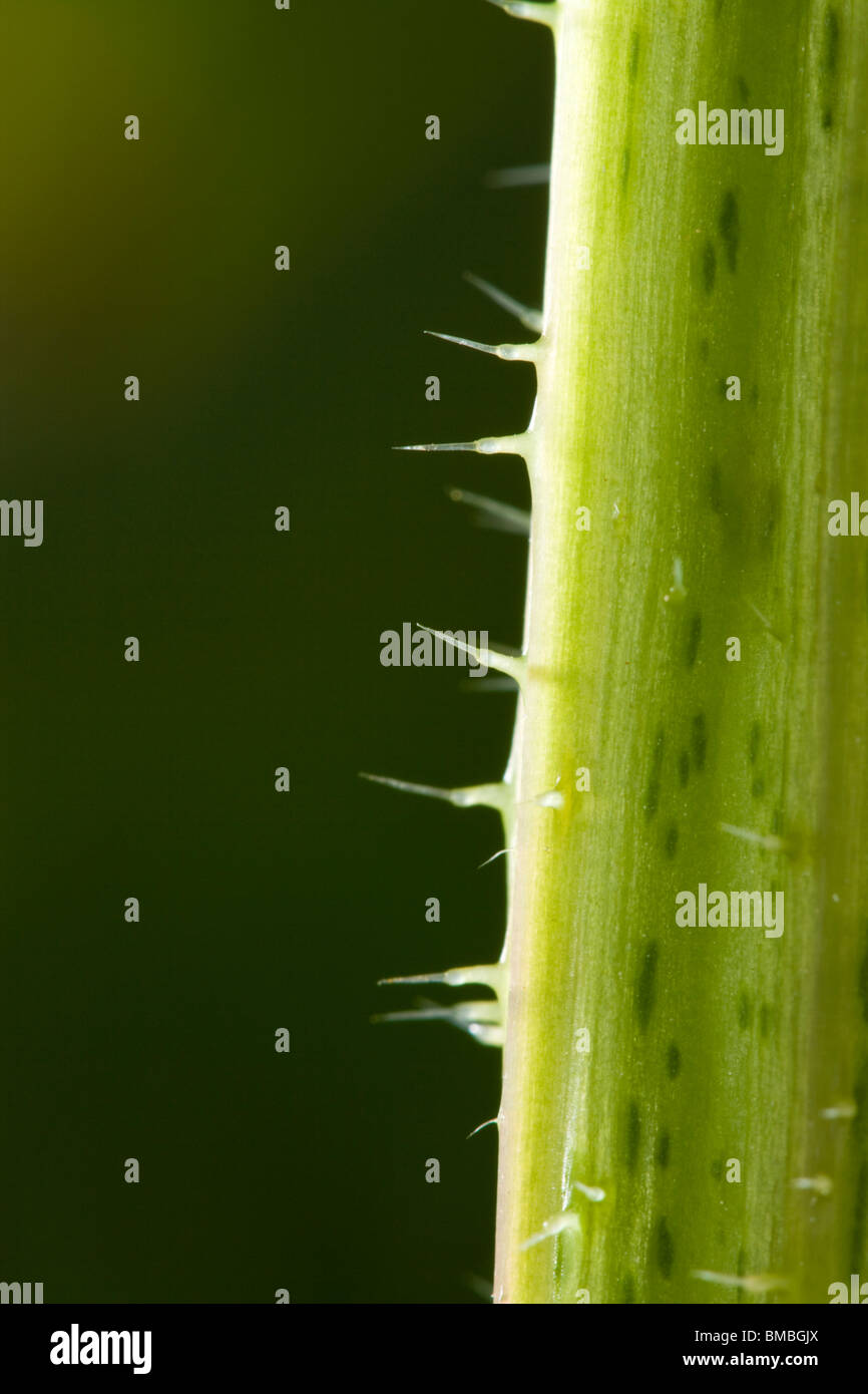 Brennnessel (Brennnessel) Brennnesselpflanzen Haare hautnah. Urtica Dioica. Stockbild