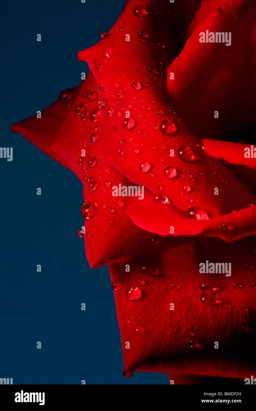 Wassertropfen auf rote Rose mit blauem Hintergrund. Stockbild