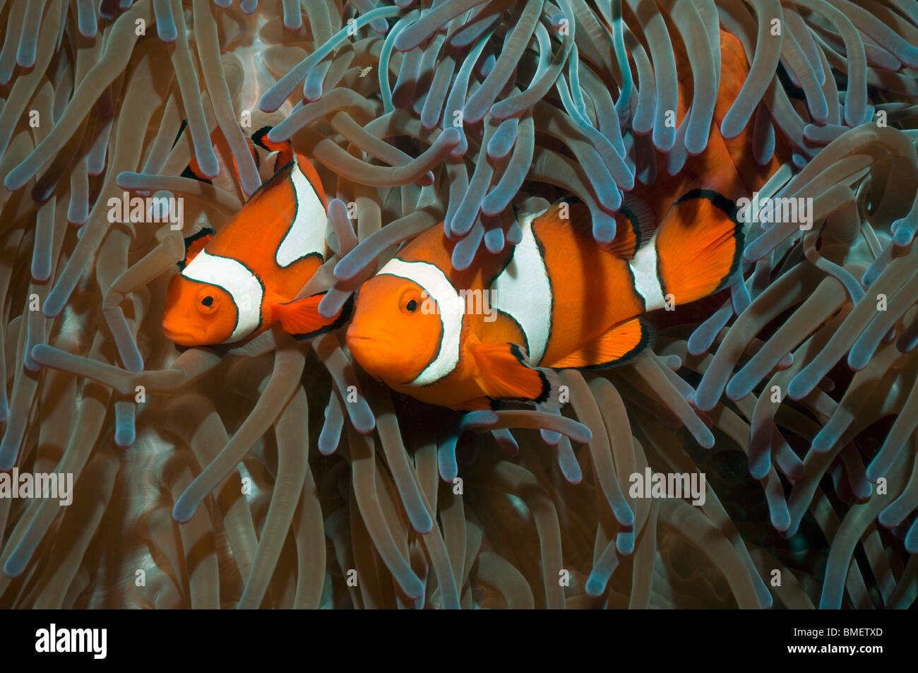 Falscher Clown Anemonenfischen, größeren Weibchen mit Männchen.  Papua-Neu-Guinea. Stockbild
