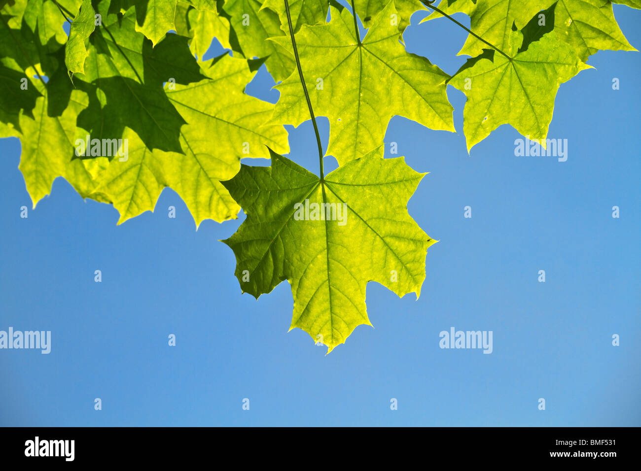 junge Ahorn-Blätter, Hintergrundbeleuchtung Stockbild