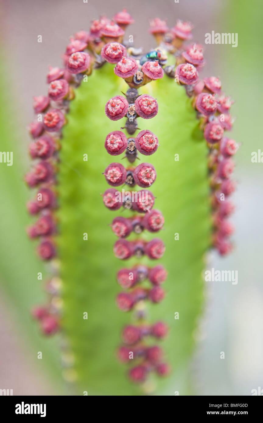 Nahaufnahme von Euphorbia Canariensis Blumen Stockbild
