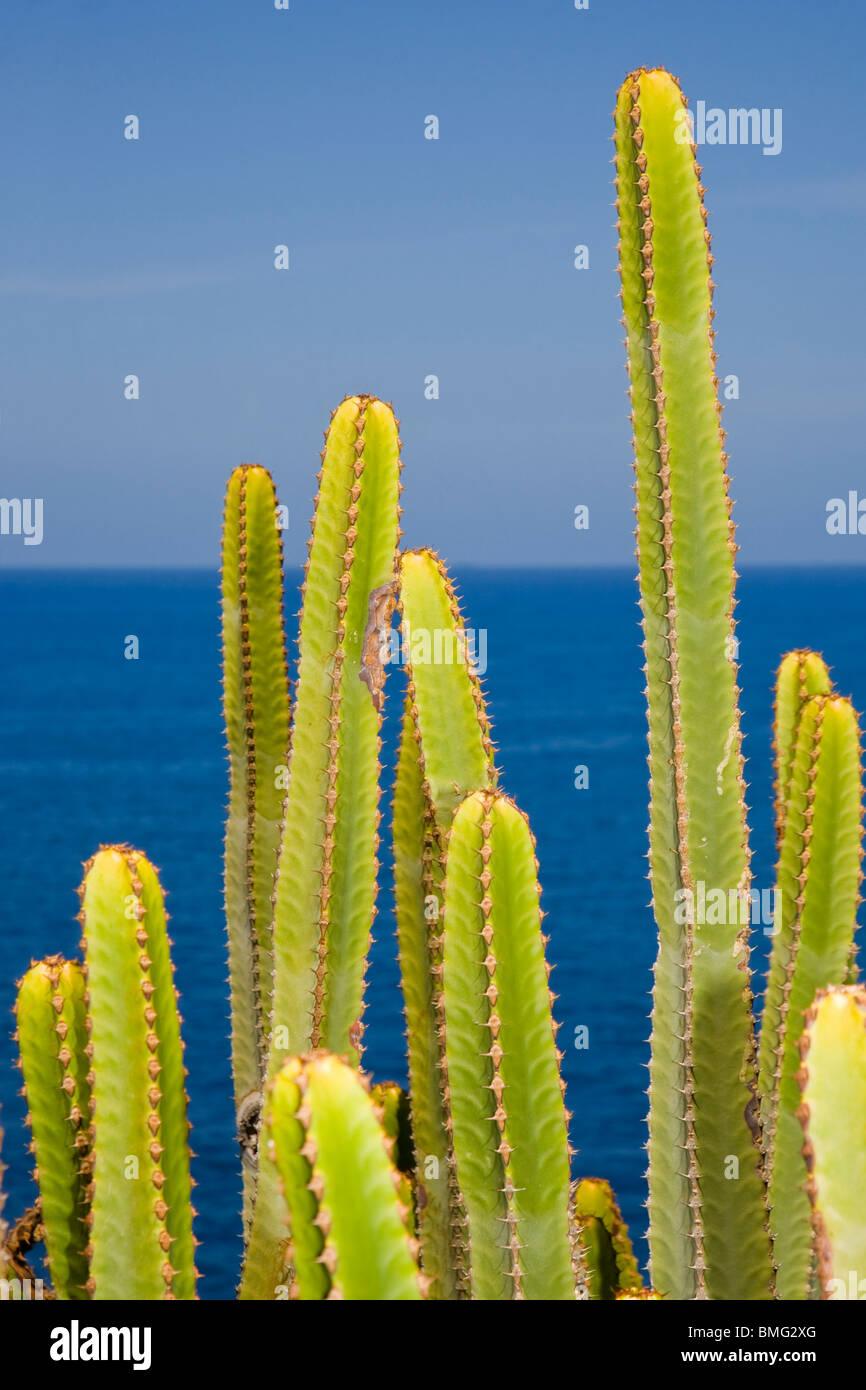 Euphorbia Canariensis oder die Kandelaber-Pflanze wächst nahe am Meer auf Gran Canaria Stockbild