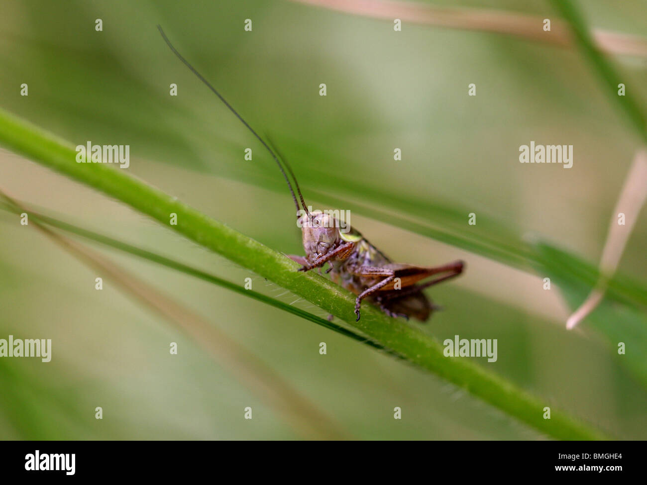 Rösel von Bush Cricket, Metrioptera Roeseli, Tettigoniidae. (Roesel's Bush-Cricket) Stockbild