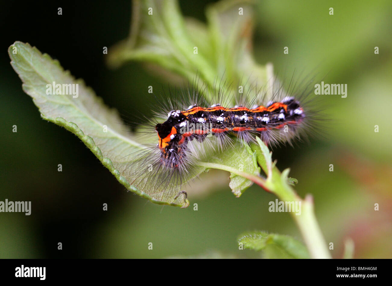 Dunkle Dolch, Acronicta Tridens, Lepidoptera, Noctuidae, Acronictinae, Caterpillar (Imago). Stockbild