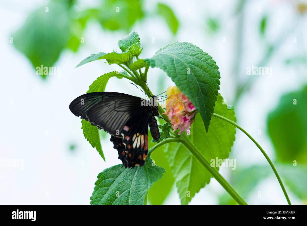 Golders Hill Park, Buterfly Papilio Rumanzovia oder Scarlet Mormon, native Südasien, thront auf Blume Stockbild