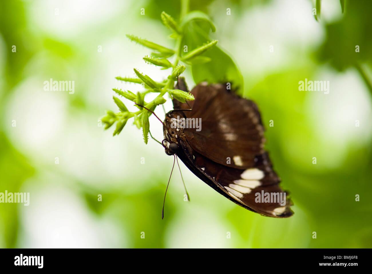 Golders Hill Park, Schmetterling Papilio Polytes oder gemeinsame Mormone, Erwachsenen bilden Cyrus, native Asien Stockbild