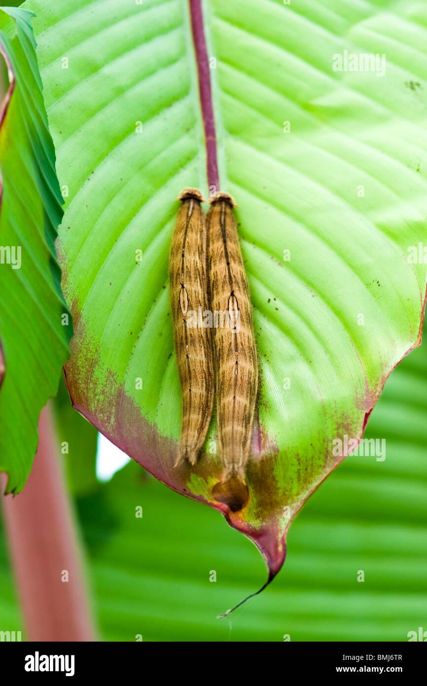 Golders Hill Park, paar tropischer Schmetterling Raupen auf Blatt, Larve oder Larven form Stockbild