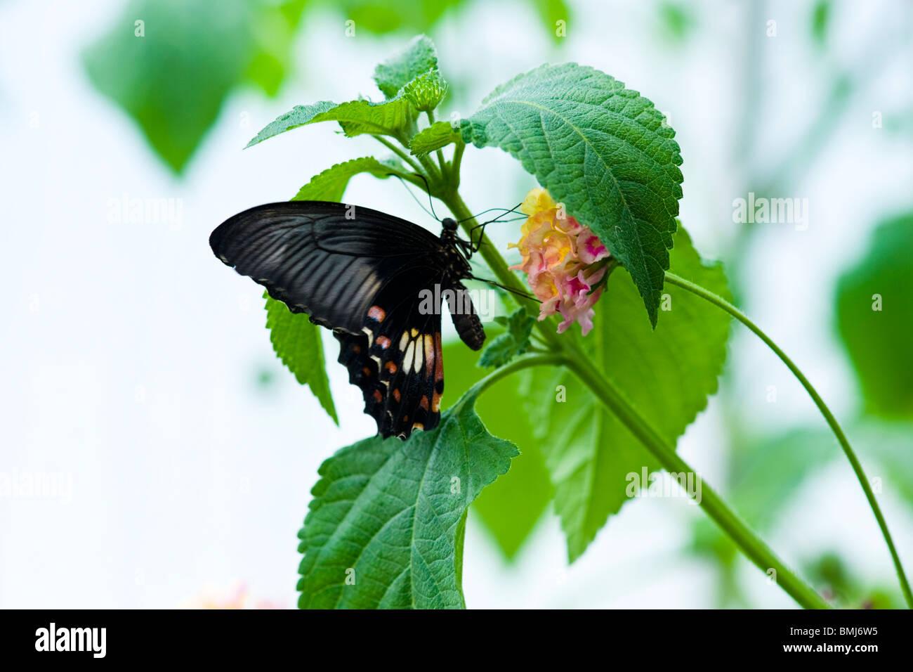 Golders Hill Park, Schmetterling Papilio Rumanzovia oder Scarlet Mormon, native Südasien, thront auf Blume Stockbild