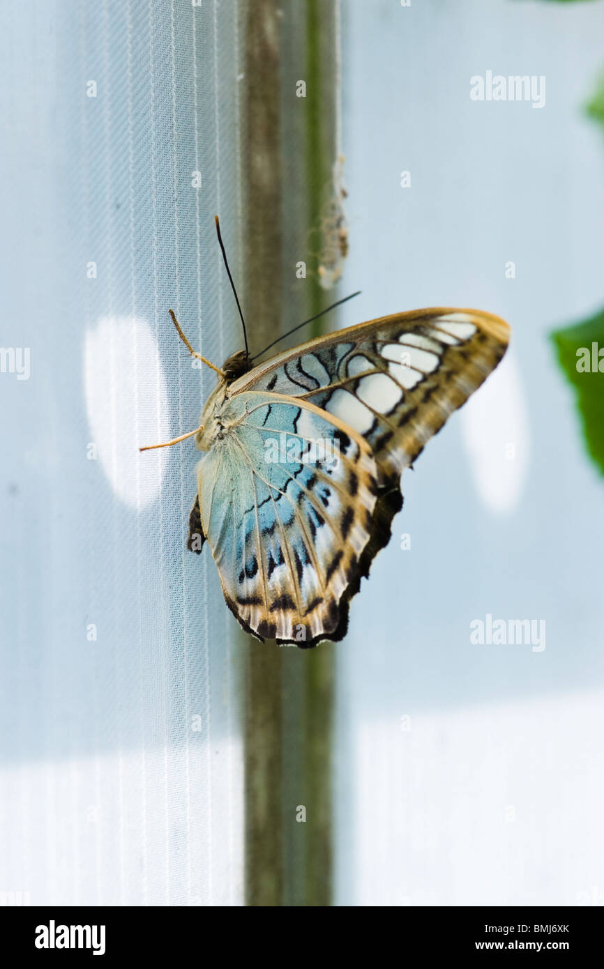 Golders Hill Park, Schmetterling Parthenos Sylvia Lilacinus oder Clipper (blau), native South Asia Stockbild