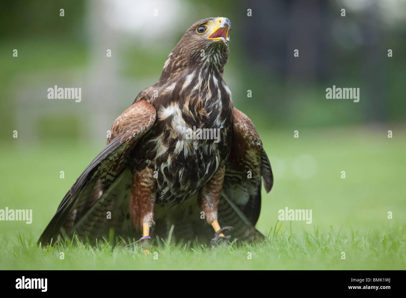 Ein Harris Hawk oder Harris Hawk (Parabuteo Unicinctus) während einer Demonstration der Falknerei in England Stockbild