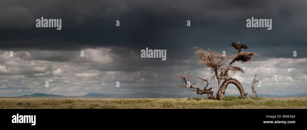 Ruppell der Gänsegeier trocknen seine Flügel nach einem Regen Sturm thront auf einem Knarled Baum. Ngorongoro, Stockbild