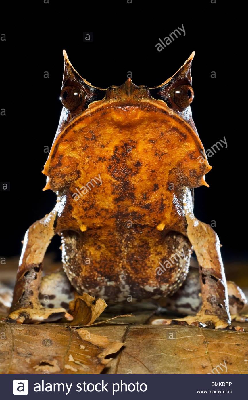 Porträt von Bornean gehörnten Frosch unter Laubstreu im Waldboden, in der Nacht genommen. Danum Valley, Sabah, Borneo. Stockfoto