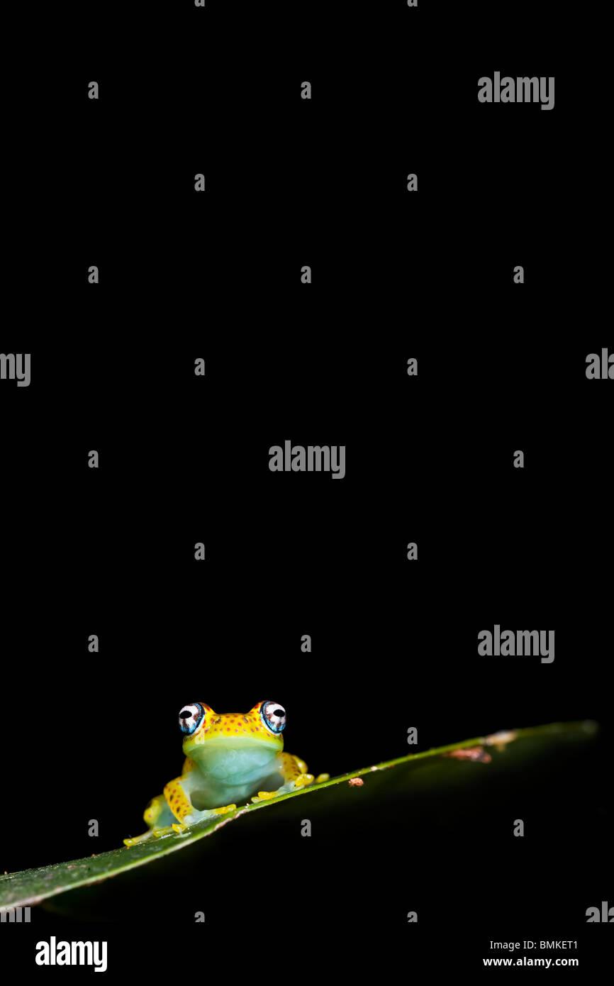 Laubfrosch, Regenwald Stelzwurzeln, Mantadia Nationalpark, Madagaskar. Stockbild