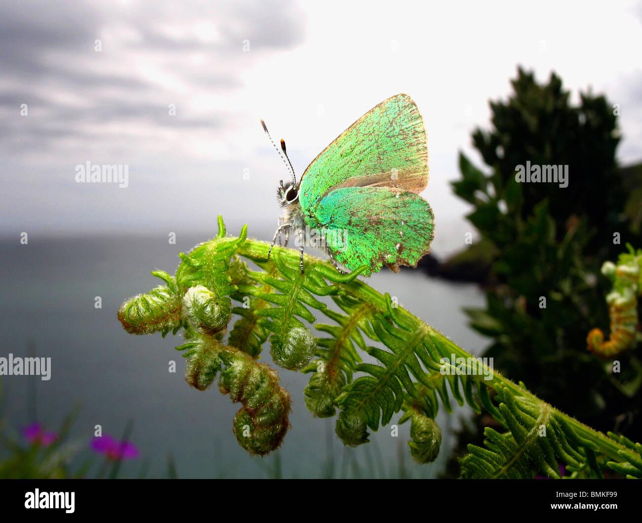 Grüner Zipfelfalter Schmetterling thront auf einem Farn, Devon Coast, UK. Stockbild