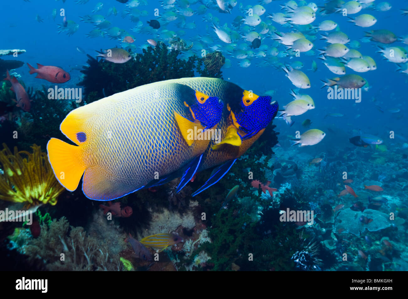 colourful fish stockfotos colourful fish bilder alamy. Black Bedroom Furniture Sets. Home Design Ideas
