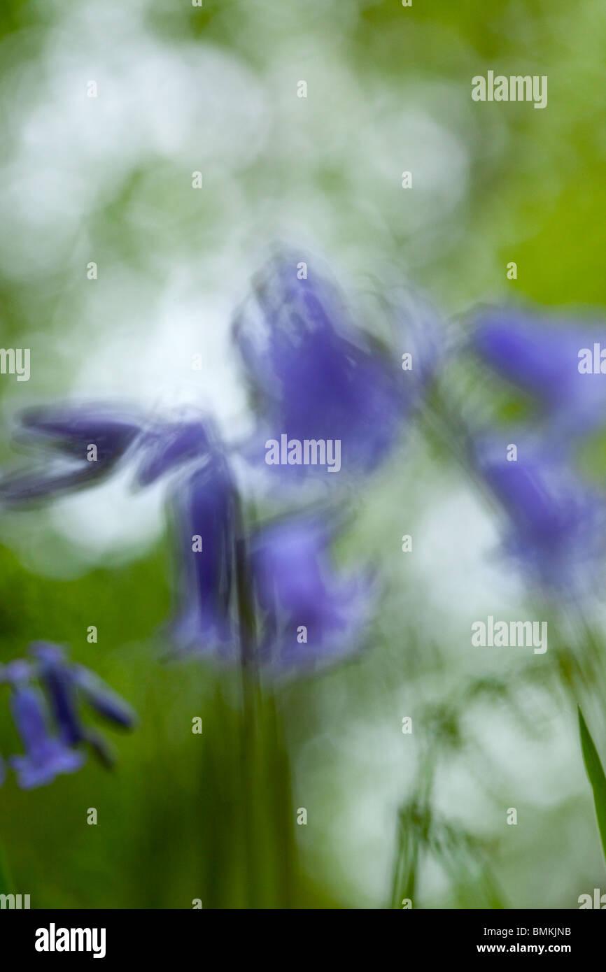 Nahaufnahme von einem Bluebell Stockbild