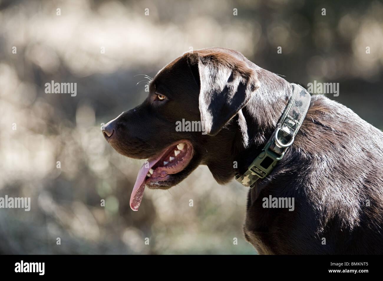 Profil-Schuss von einem Chocolate Labrador im freien Stockbild