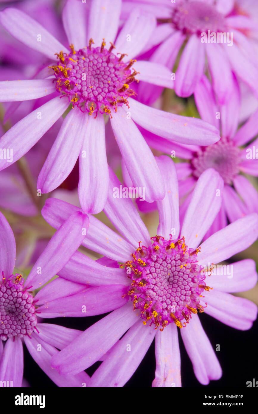 Pericallis Webbii oder Aschenpflanze Blume Stockbild