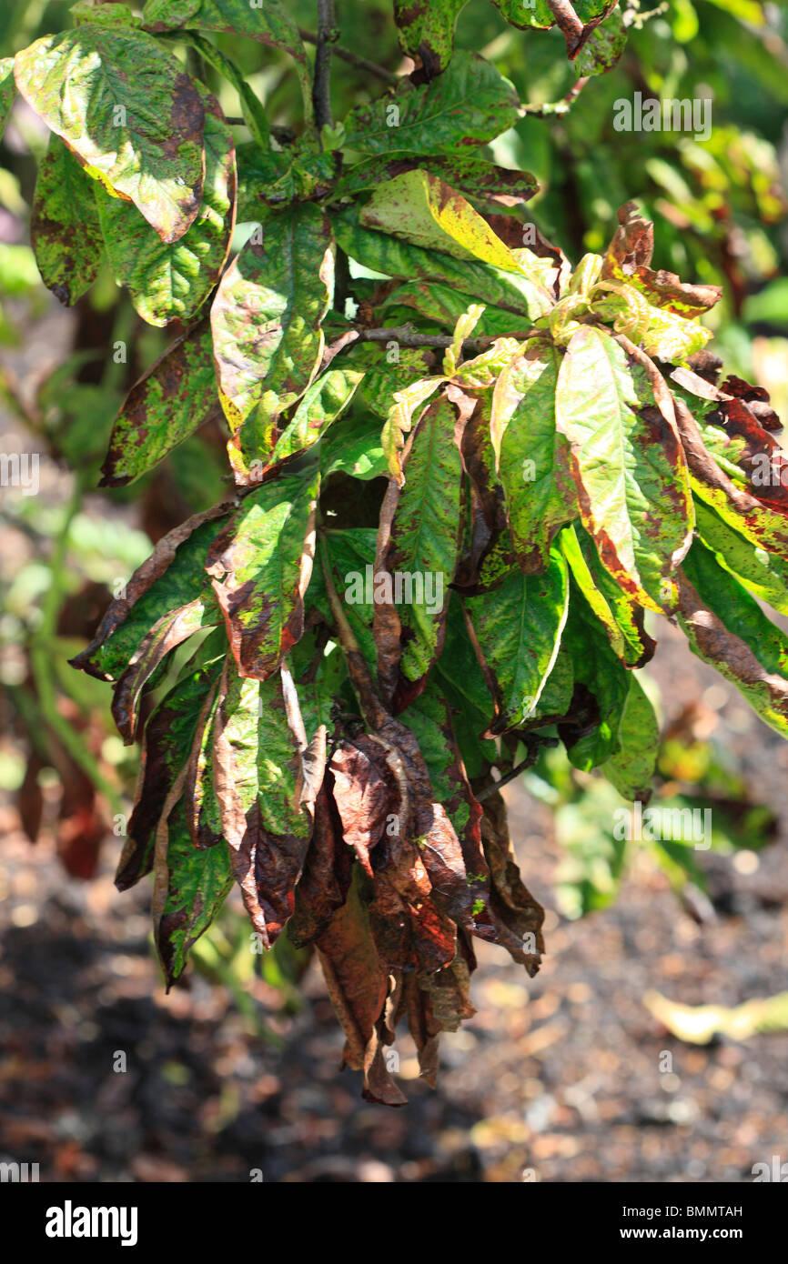 Quitte BLATTFLECKEN (Diplocarpon Maculatum) Angriff auf Quitte Baum Stockbild