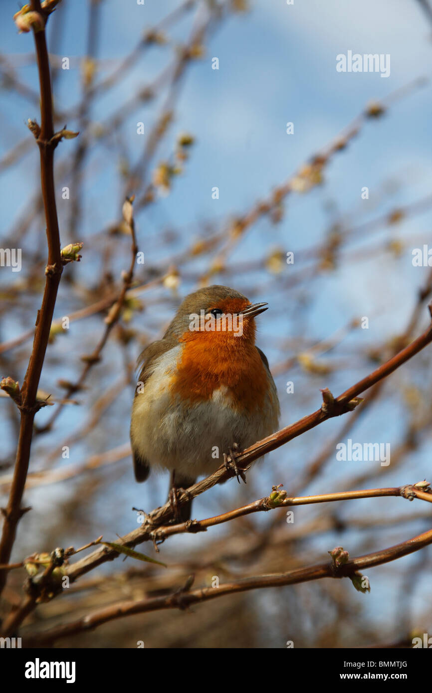 Robin (Erithacus Rubecula) hocken auf der Niederlassung singen Stockbild