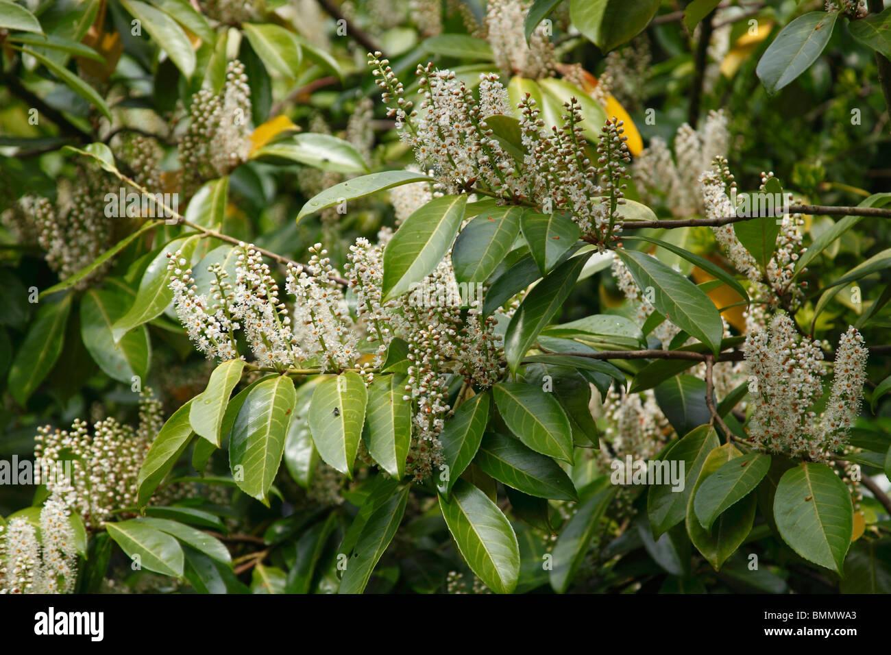 Lorbeerbaum (Prunus Laurocerasus) in Blüte Stockbild