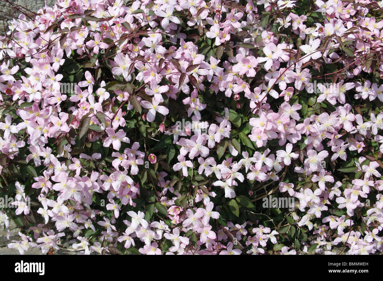 Clematis Pink Perfektion Pflanze in Blüte Stockbild