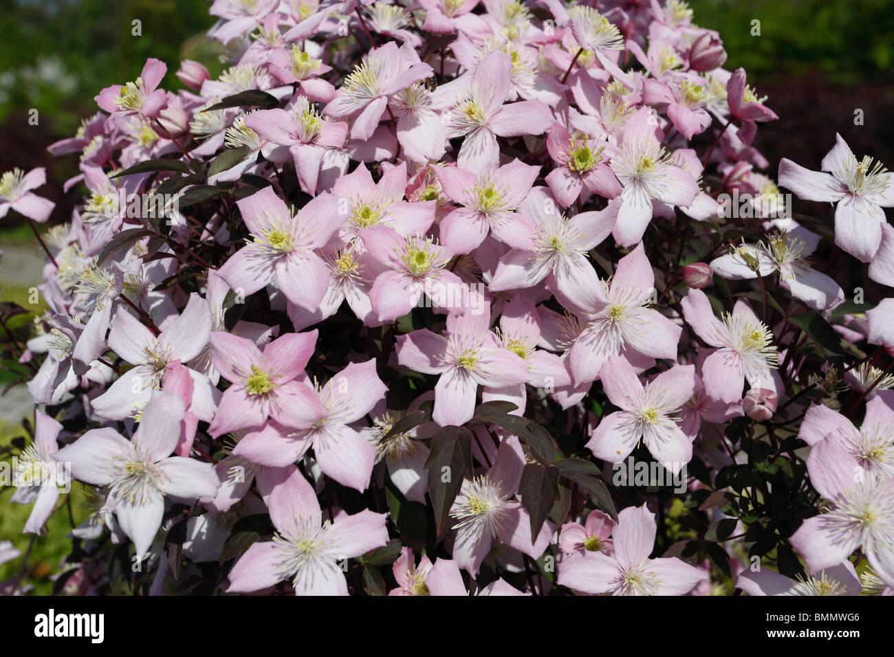 Clematis Montana pink Perfektion Nahaufnahme von Blumen Stockbild