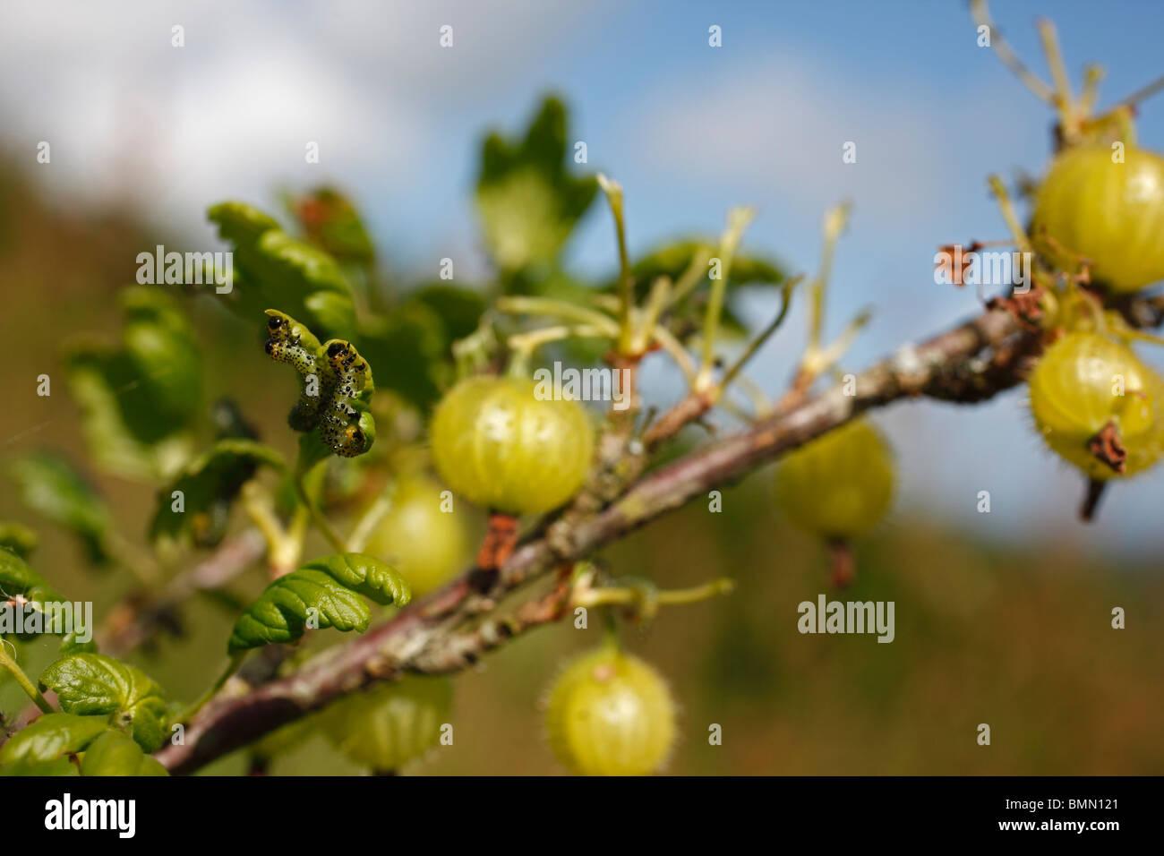 Stachelbeere Zweig Blätter durch Stachelbeere Blattwespen Raupen beraubt Stockbild