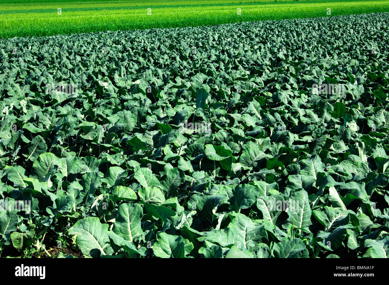 broccoli field stockfotos broccoli field bilder alamy. Black Bedroom Furniture Sets. Home Design Ideas