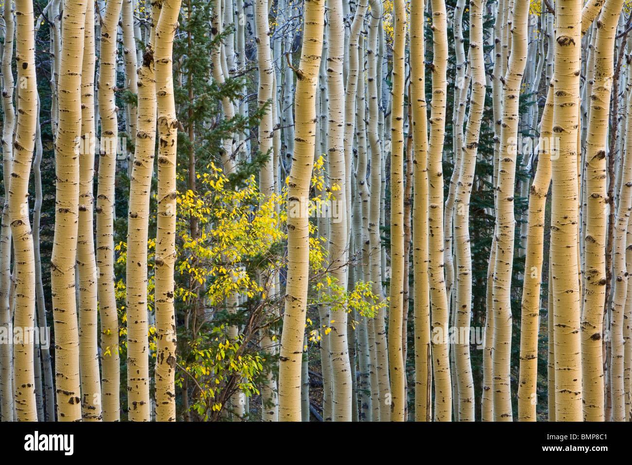 Baumgruppe im Herbst Espe mit gelben Reitens Baum hängen des San Francisco Peaks, Coconino National Forest, Arizona Stockfoto