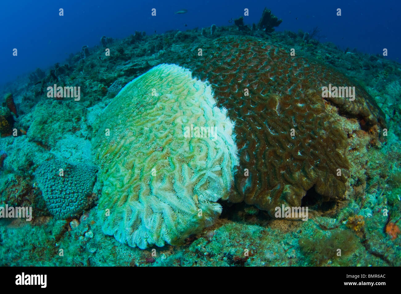 Hirnkoralle (Diploria Strigosa) in Juno Beach, FL weiße Pest, eine Krankheit, die Riffe in der Karibik verwüstet Stockbild