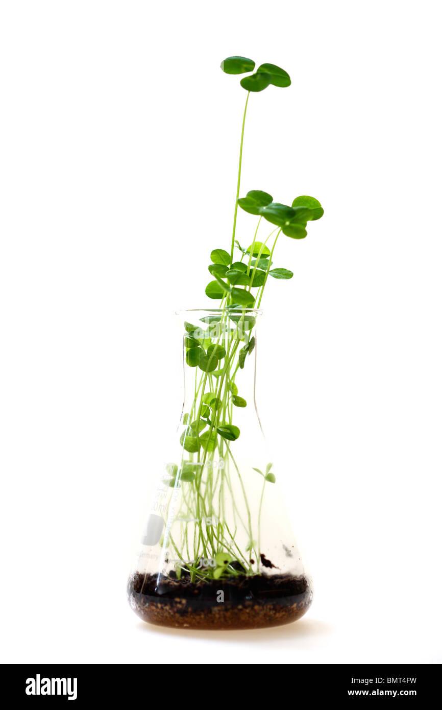 Keim Knospe von Klee, Pflanzen auf eine Brutstätte Nährböden in einen Erlenmeyerkolben, Arbeit. Stockbild