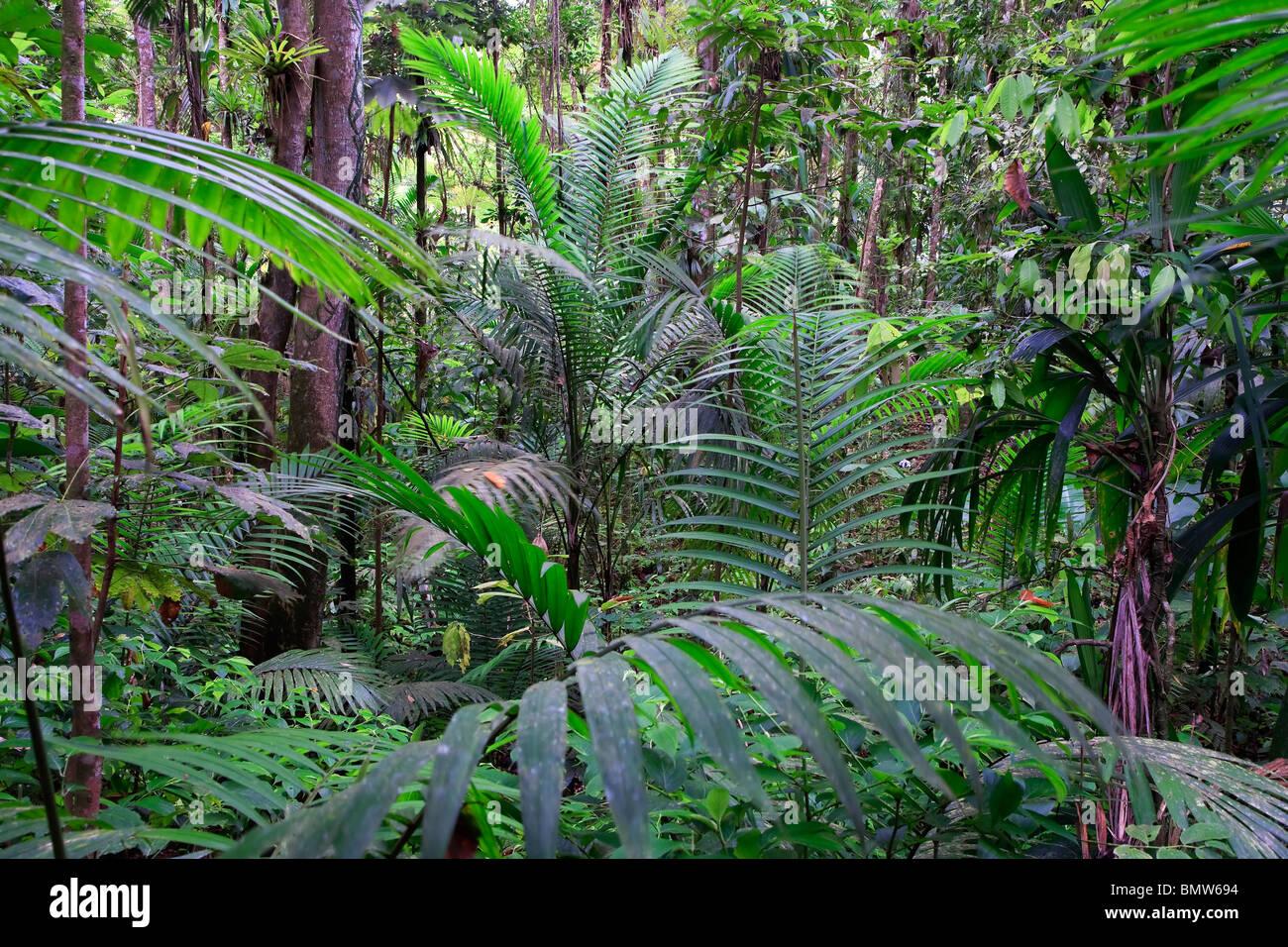 Karibik, St. Lucia, Des Cartier Trail, tropischer Regenwald Stockbild