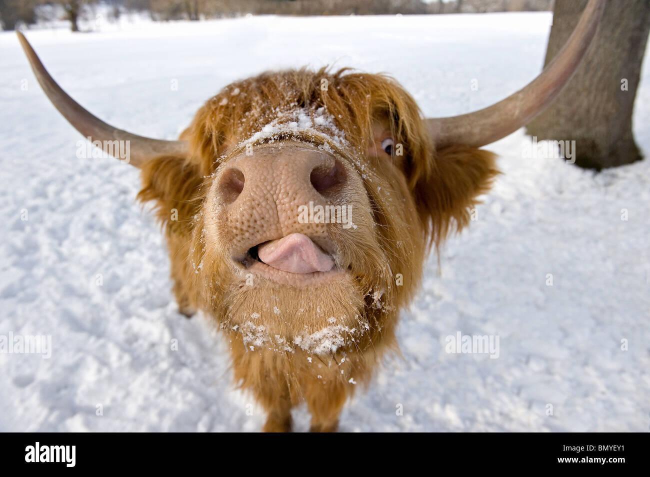 Hochlandrinder. Porträt im winter Stockbild