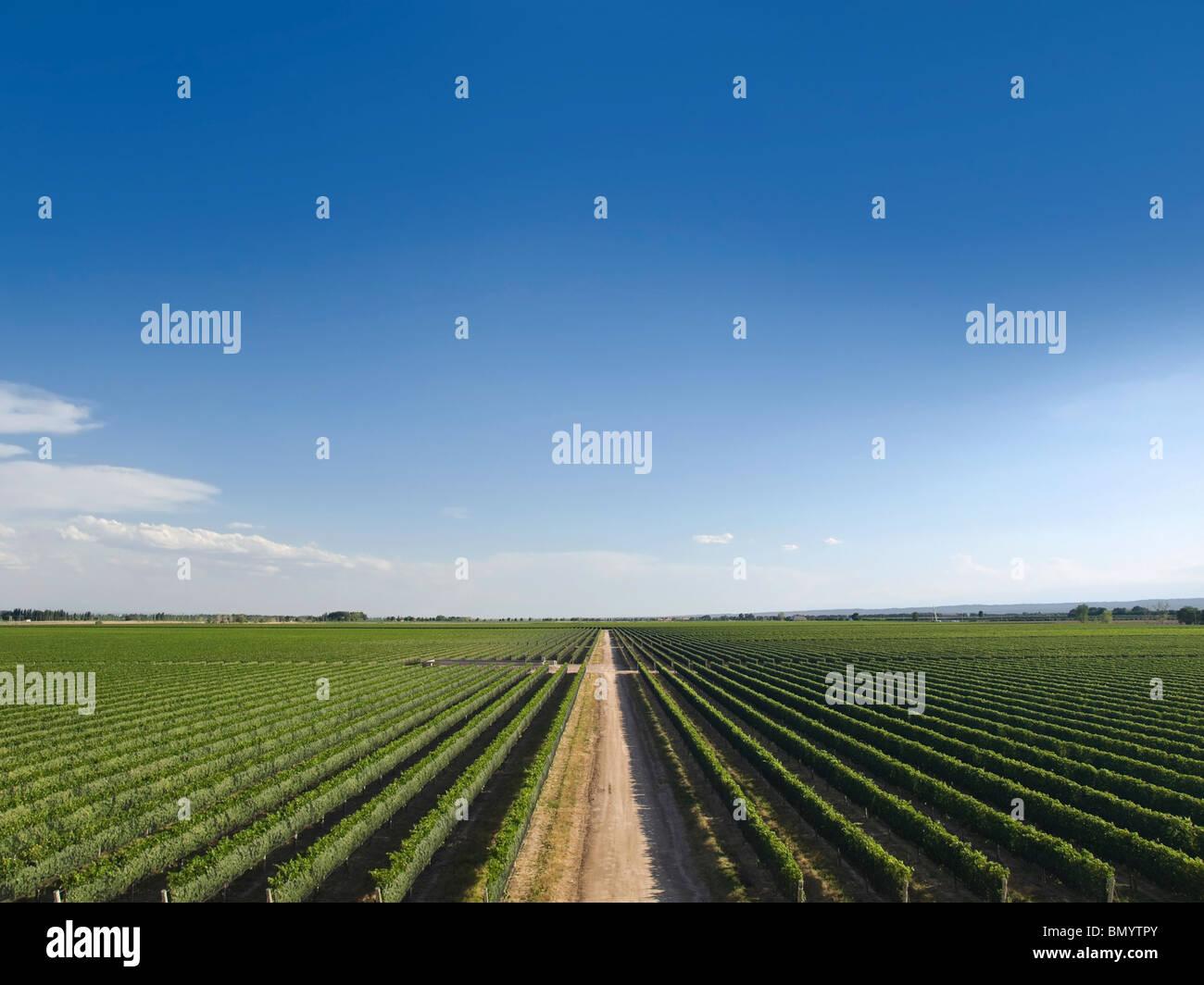 Großer Weinberg ist durch eine Straße in der Mitte geschnitten. Stockbild