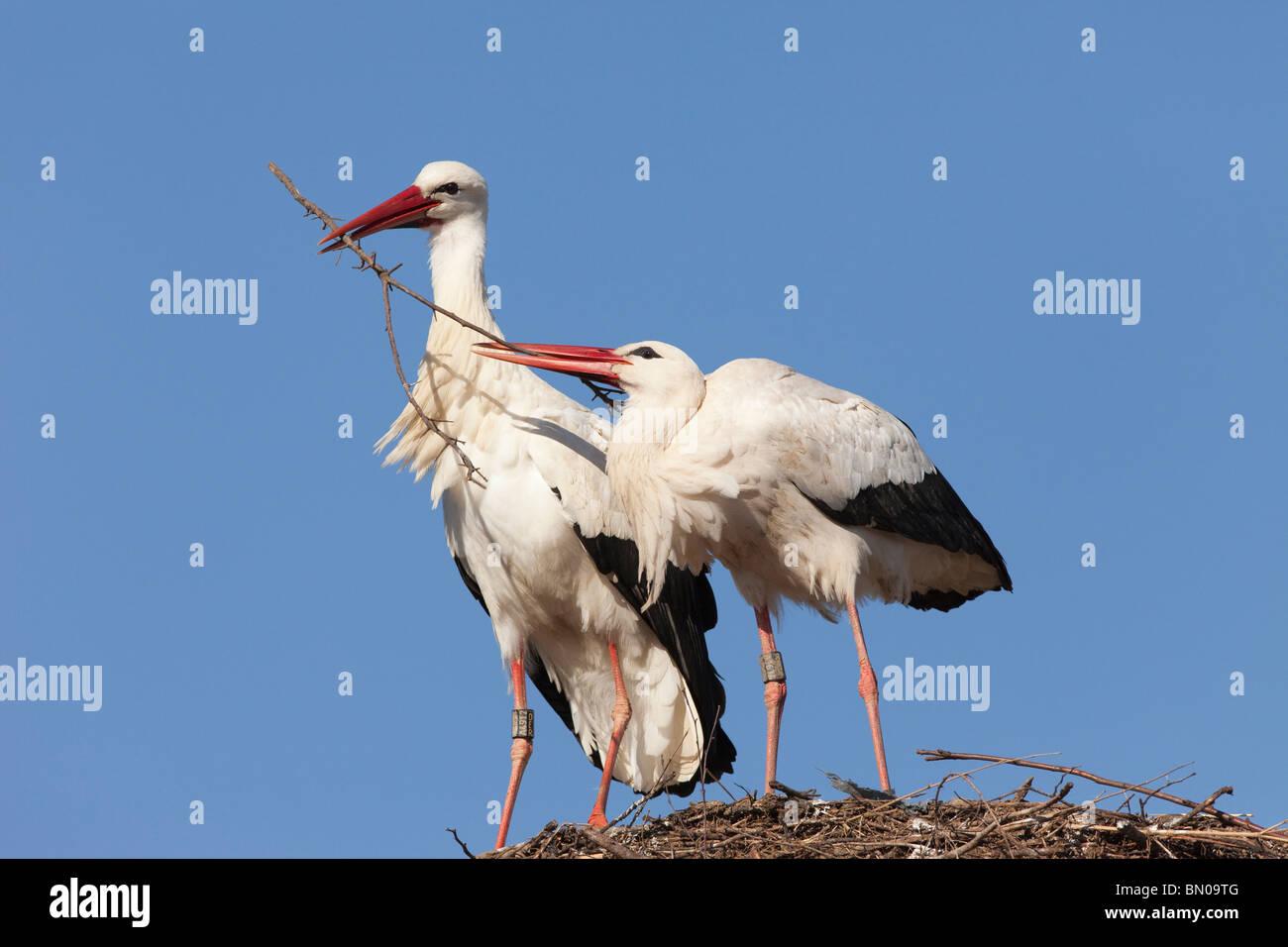 Europäische Weißstorch (Ciconia Ciconia), koppeln Sie ihren Nestbau. Stockbild