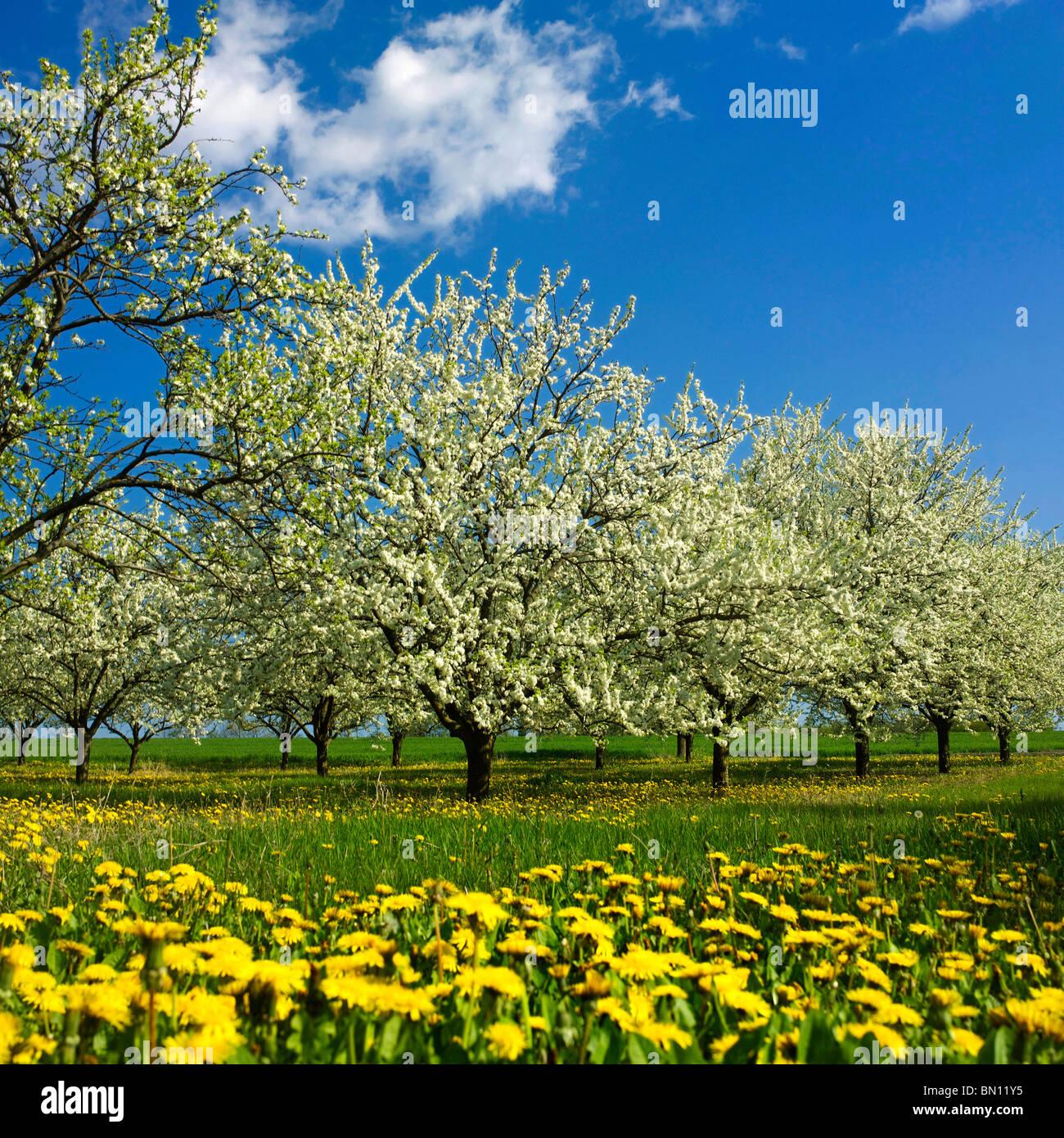 Apple Bäume mit Apple Blossom. in einem Obstgarten Stockbild