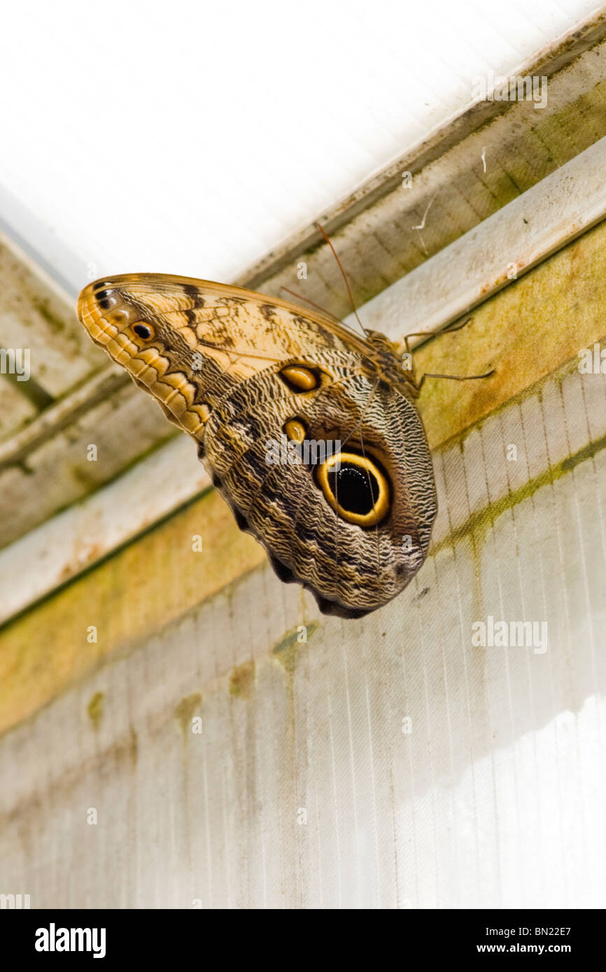 Golders Hill Park, Schmetterling Caligo Eurilochus oder die Eule wegen seiner Eule Auge Flügel Detail thront Stockbild