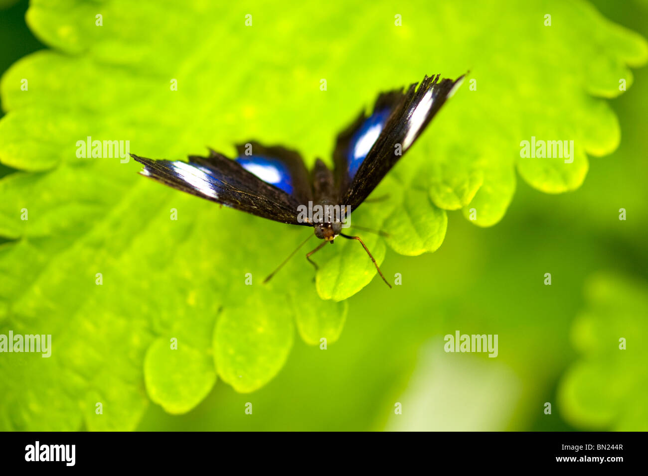 Golders Hill Park, Hypolimnas Bolina oder Blue Moon Butterfly oder große Eggfly, sonnen sich auf Blatt, native Stockbild